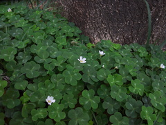 Oxalis-oregana-redwood-sorrel-Pfeiffer-Falls-Pfeiffer-Big-Sur-2011-01-02-IMG 0348