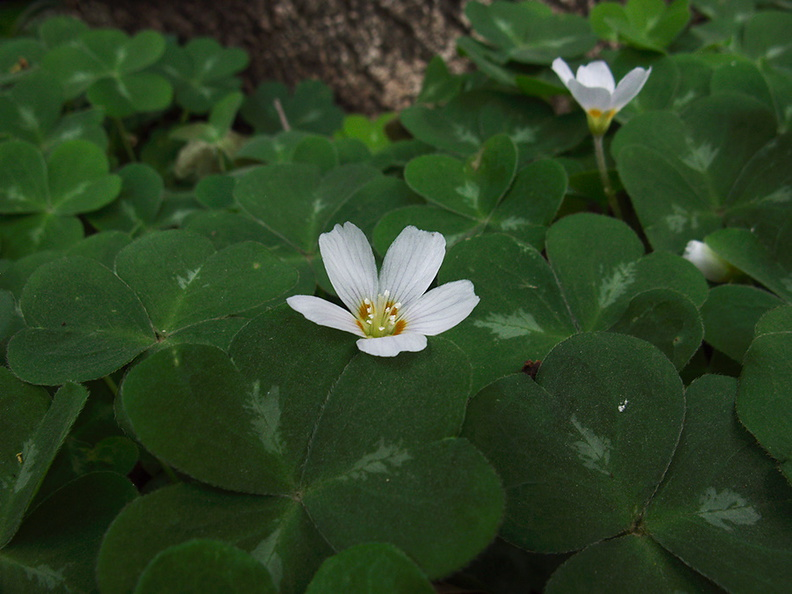 Oxalis-oregana-redwood-sorrel-Pfeiffer-Falls-Pfeiffer-Big-Sur-2011-01-02-IMG_0349.jpg