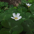 Oxalis-oregana-redwood-sorrel-Pfeiffer-Falls-Pfeiffer-Big-Sur-2011-01-02-IMG 0349