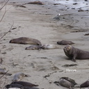 male-elephant-seal-Seal-Beach-2013-03-02-IMG 0206