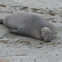 male-on-beach-Elephant-Seal-Beach-2012-12-15-IMG 6980