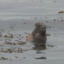 male-swimming-Elephant-Seal-Beach-2012-12-15-IMG 6970