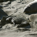 newborn-pup-Seal-Beach-Hwy1-2012-01-01-IMG 3771