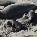 newborn-pups-and-female-Seal-Beach-Hwy1-2011-01-01-IMG 0296