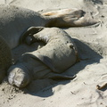 newborn-seal-pup-sandbath-by-mom-Seal-Beach-Hwy1-2011-01-01-IMG 3782