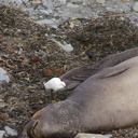 young-elephant-seals-Seal-Beach-2013-03-02-IMG 0203