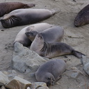 young-elephant-seals-Seal-Beach-2013-03-02-IMG 0210