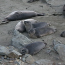 young-elephant-seals-Seal-Beach-2013-03-02-IMG 7551