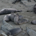 young-elephant-seals-Seal-Beach-2013-03-02-IMG 7554