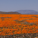 California-poppy-fields-along-Rte138-2014-04-20-IMG 3560