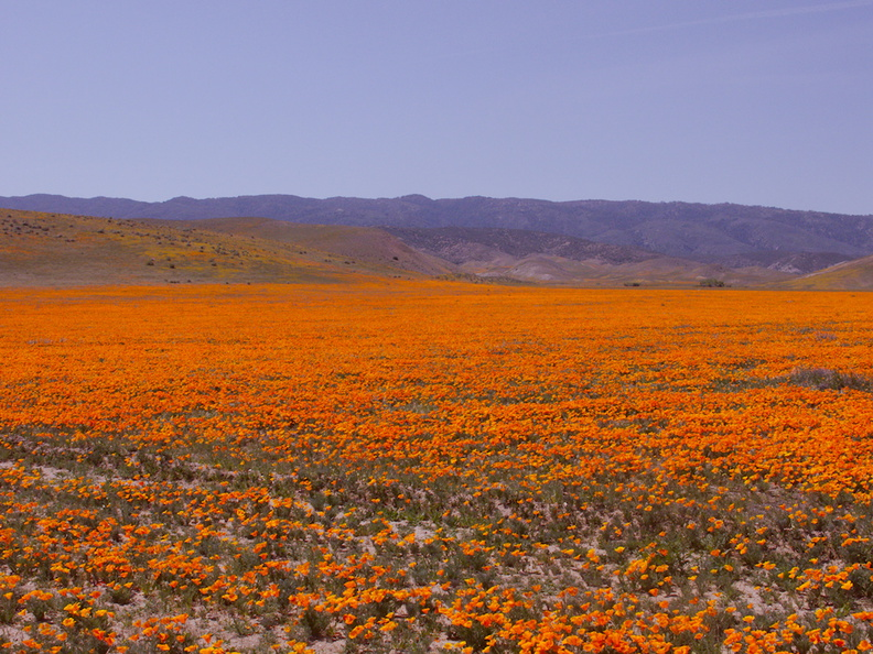 California-poppy-fields-along-Rte138-2014-04-20-IMG_3562.jpg
