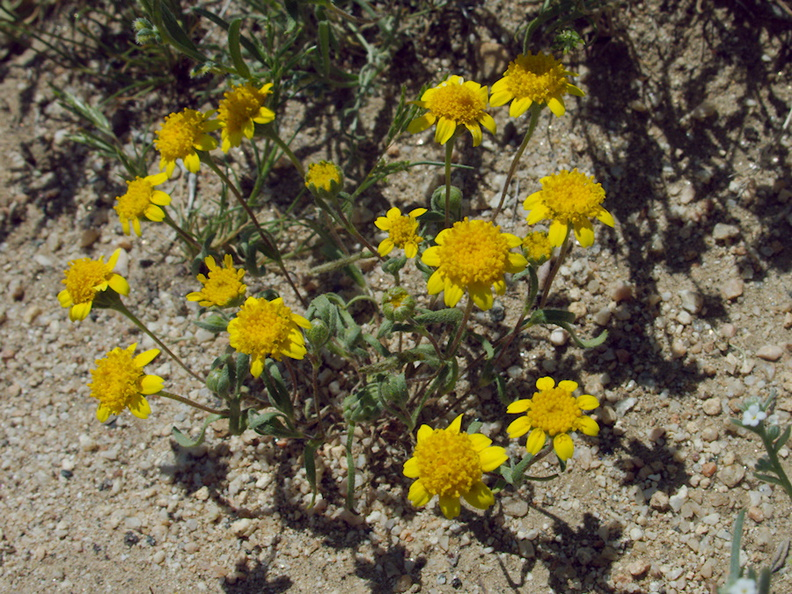 Lasthenia-californica-goldfields-flowers-joshua-tree-and-juniper-reserve-Rte138-2014-04-20-IMG_3566.jpg