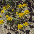 Lasthenia-californica-goldfields-flowers-joshua-tree-and-juniper-reserve-Rte138-2014-04-20-IMG 3566