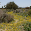 Lasthenia-californica-goldfields-joshua-tree-and-juniper-reserve-Rte138-2014-04-20-IMG 3569