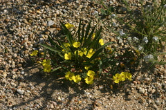 camissonia-bistorta-southern-suncup-grimes-canyon-2008-04-25-img 6957