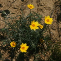 coreopsis-indet-gorman-post-rd-2008-04-25-img 6969