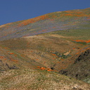 mountains-covered-in-poppy-globe-gilia-img 6983