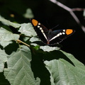 California-sister-butterfly-Adelphia-bredowii-Redwood-Canyon-2008-07-24-CRW 7667