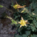 Aquilegia-pubescens-Covilles-columbine-near-Heather-Lake-SequoiaNP-2012-08-02-IMG 6568