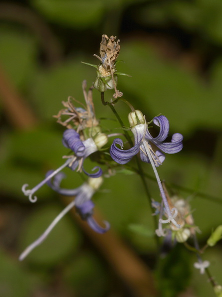 Asyneuma-prenanthoides-Campanula-California-harebell-road-to-Crescent-Meadow-SequoiaNP-2012-07-31-IMG 6388