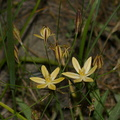 Bloomeria-crocea-goldstar-meadow-near-Princess-camp-SequoiaNP-2012-07-06-IMG 5999