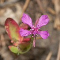 Clarkia-rhomboidea-forest-clarkia-Crescent-Meadow-to-Museum-trail-SequoiaNP-2012-07-31-IMG 6420