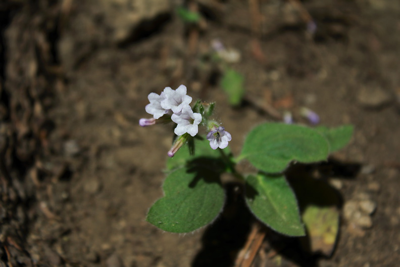 Draperia-systyla-General-Grant-Grove-Kings-Canyon-2012-07-05-IMG_5879.jpg