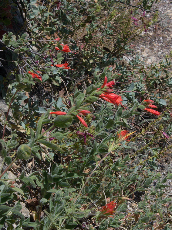 Epilobium-canum-California-fuchsia-Heather-Lake-SequoiaNP-2012-08-02-IMG 6578