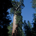 General-Grant-tree-giant-redwood-Kings-Canyon-2012-07-05-IMG 5876