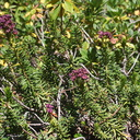 Phyllodoce-breweri-mountain-heather-Heather-Lake-wetlands-SequoiaNP-2012-08-02-IMG 2566