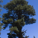Pinus-jeffreyi-Buena-Vista-trail-SequoiaNP-2012-08-01-IMG 6488