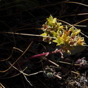 Sedum-spathulifolium-broadleaf-stonecrop-near-Heather-Lake-SequoiaNP-2012-08-02-IMG 2576