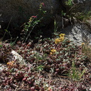 Sedum-spathulifolium-broadleaf-stonecrop-near-Heather-Lake-SequoiaNP-2012-08-02-IMG 2582