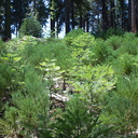 Sequoiadendron-giganteum-giant-redwood-seedlings-near-Crescent-Meadow-SequoiaNP-2012-07-31-IMG 6414