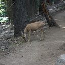 mule-deer-feeding-on-wolf-lichen-Heather-Lake-trail-SequoiaNP-2012-08-02-IMG 6658