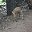 mule-deer-feeding-on-wolf-lichen-Heather-Lake-trail-SequoiaNP-2012-08-02-IMG 6659