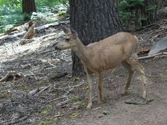mule-deer-feeding-on-wolf-lichen-Heather-Lake-trail-SequoiaNP-2012-08-02-IMG 6661
