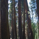 redwood-trunks-after-fire-trail-near-Crescent-Meadow-SequoiaNP-2012-07-31-IMG 2427