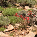 Castilleja-applegatei-Indian-paintbrush-flowers1