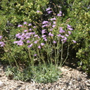 Penstemon-gracilentus-slender-penstemon-1