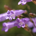 Penstemon-gracilentus-slender-penstemon-2