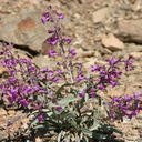 Penstemon-patens-bristlecone-road-2