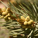 Pinyon-singleleaf-male-cones