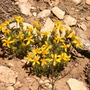alpine-yellow-composite-indet
