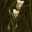 Calochortus June Lake5