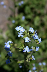 Myosotis-forget-me-not-Convict-Lake-mm