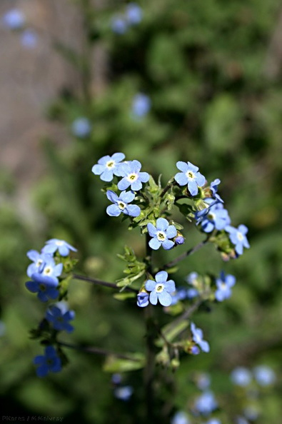 Myosotis-forget-me-not-Convict-Lake-mm.jpg