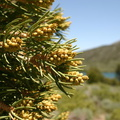 pinyon-singleleaf-male-cones-Convict-Lake-mm