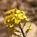 Erysimum-capitatum-western-wallflower-McGee-Creek-2