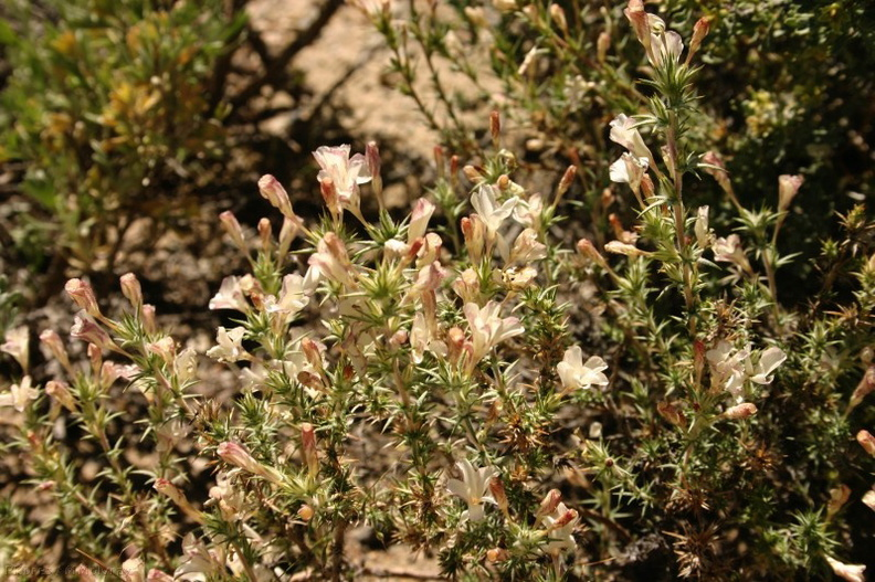 Leptodactylon-pungens-prickly-phlox-Mono-Lake-mm